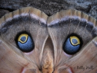 Polyphemus moth 'eyes'