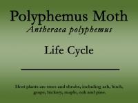 polyphemus-moth-title.jpg