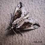 Baltimore Moth