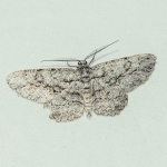 Common Gray moth