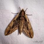 Elm Sphinx moth