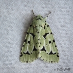 Green Marvel moth