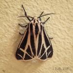 Harnessed Tiger Moth