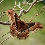 Promethea Moth