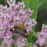 Orange-spotted pyrausta moth