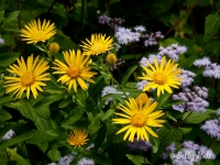 golden-asters-and-mistflowers