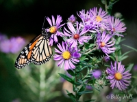 monarch-on-new-england-asters