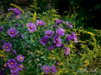 new-england-aster-and-goldenrod