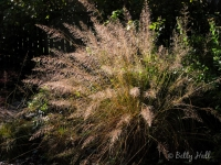 prairie-dropseed-grass-in-autumn