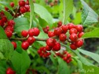 raindrops-on-winterberries