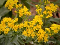 rigid-goldenrod-blossoms