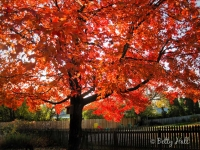 sunlight-through-red-maple-leaves