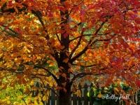 Tupelo tree in autumn