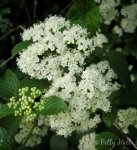 Arrow-wood viburnum