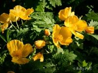 Celandine poppies