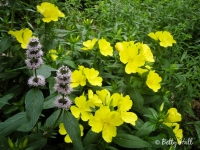 Sundrops and wood mint
