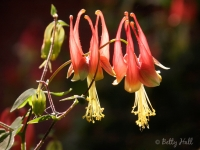 Two columbine blossoms