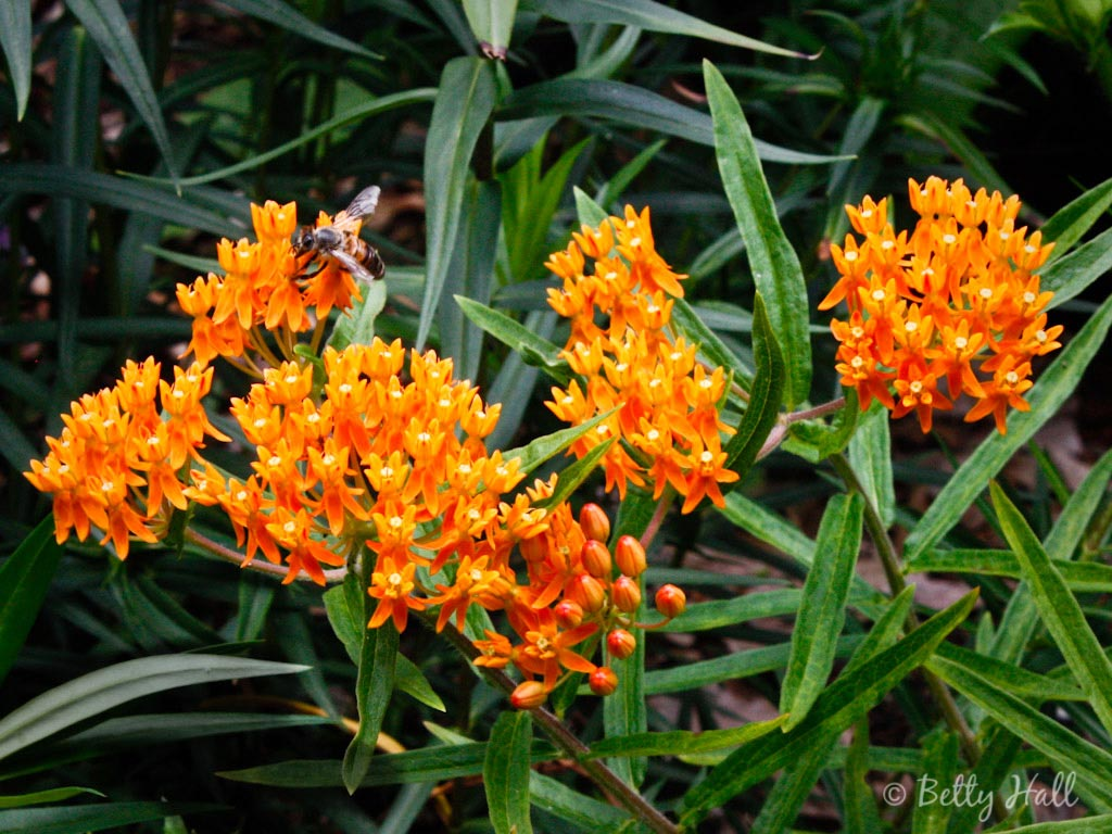 Native Plants Summer Betty Hall Photography