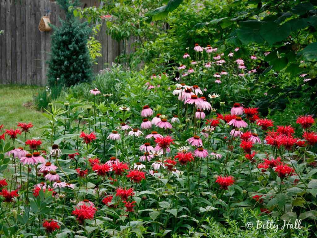 Scarlet Bee Balm And Purple