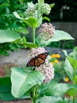 monarch-on-common-milkweed