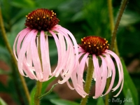 pale-purple-coneflowers