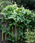 pipevine