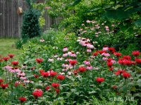 scarlet-bee-balm-and-purple-coneflowers