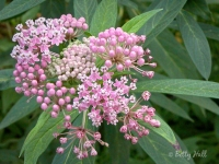 swamp-milkweed