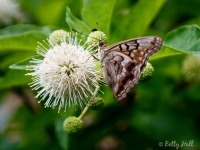 tawny-emperor-on-buttonbush