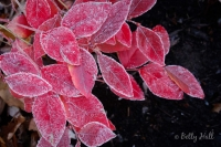 Blueberry leaves and frost