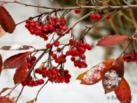 chokeberries-and-snow