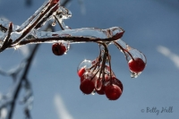Chokeberry and ice