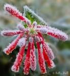 Frost on Trumpet Honeysuckle Blossom