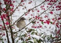 Mocking bird in wahoo tree