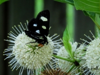 8-spotted forester moth on button bush