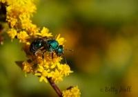 Green sweat bee