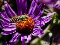 Half-green sweat bee