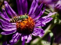 Half-green sweat bee