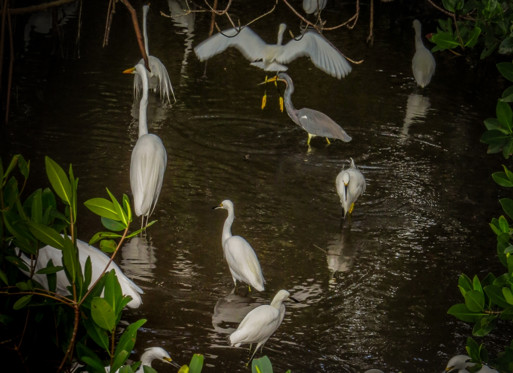Egrets and Herons feeding at low tide