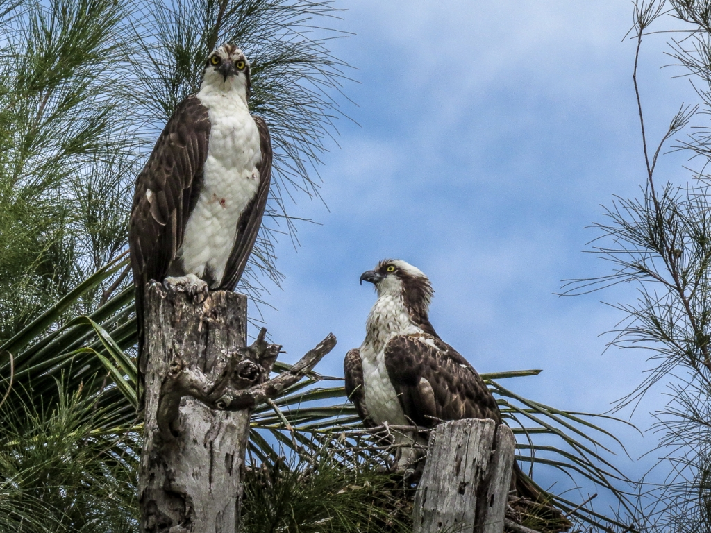 Osprey - male and female on nest