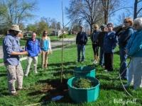 Newly planted bur oak