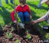 Planting green mulch