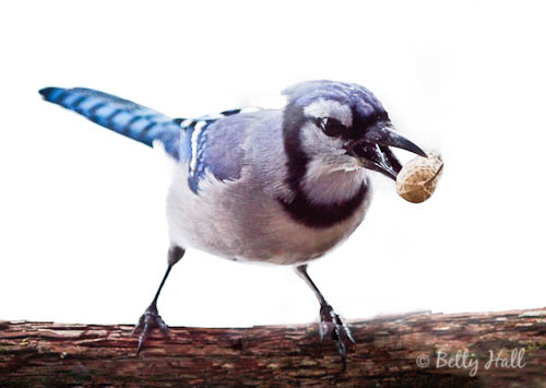 Blue Jay with peanut