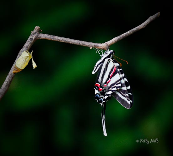 Zebra swallowtail butterfly and chrysalis