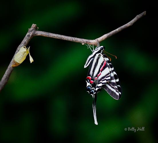 Zebra swallowtail butterfly and chrysalis