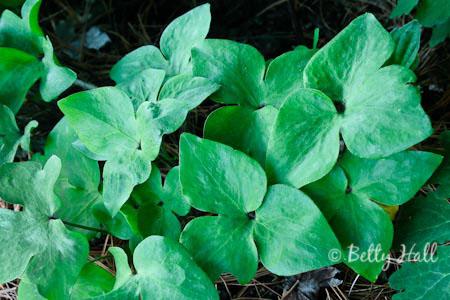 3-lobed Hepatica leaves