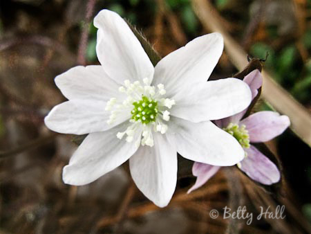 Hepatica bloom close-up