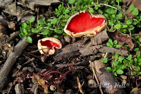 Scarlet cup mushsroom