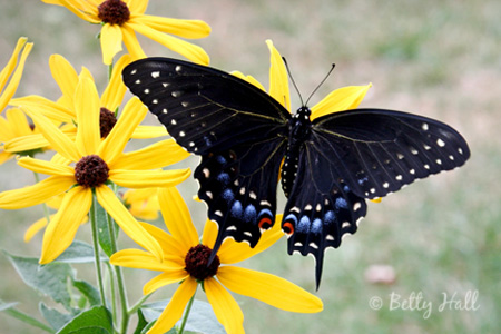 Black swallowtail butterfly adult