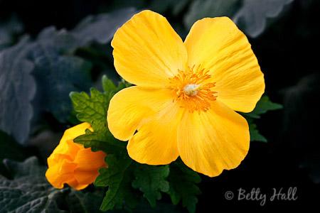 Celandine poppy flower